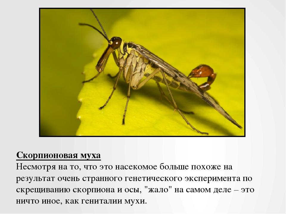 Скорпионовая муха Несмотря на то, что это насекомое больше похоже на результа...