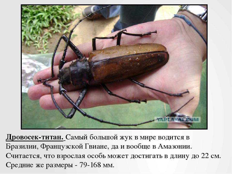 Дровосек-титан.Самый большой жук в мире водится в Бразилии, Французской Гвиа...