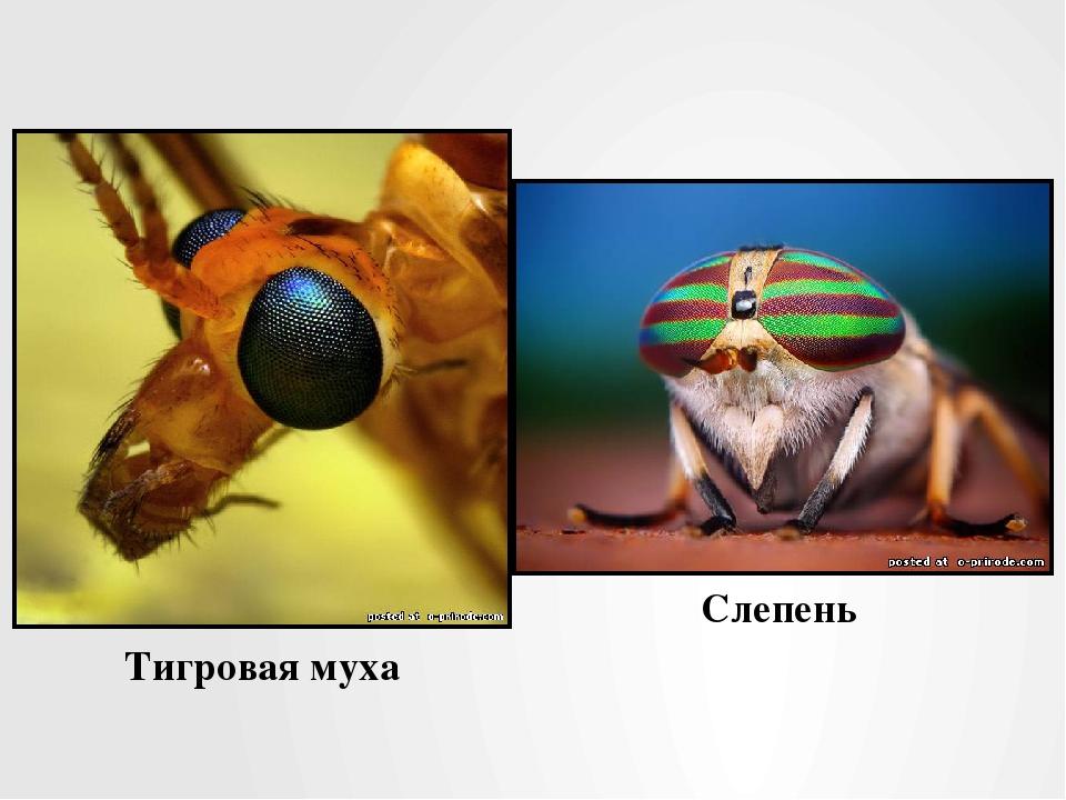 Тигровая муха Слепень