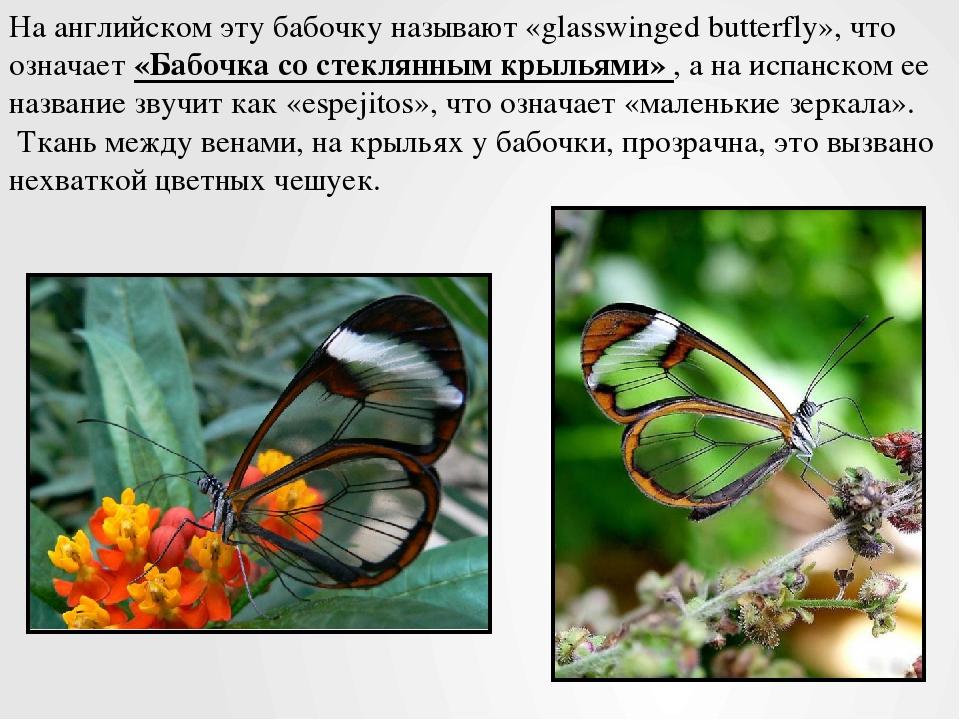 На английском эту бабочку называют «glasswinged butterfly», что означает «Баб...