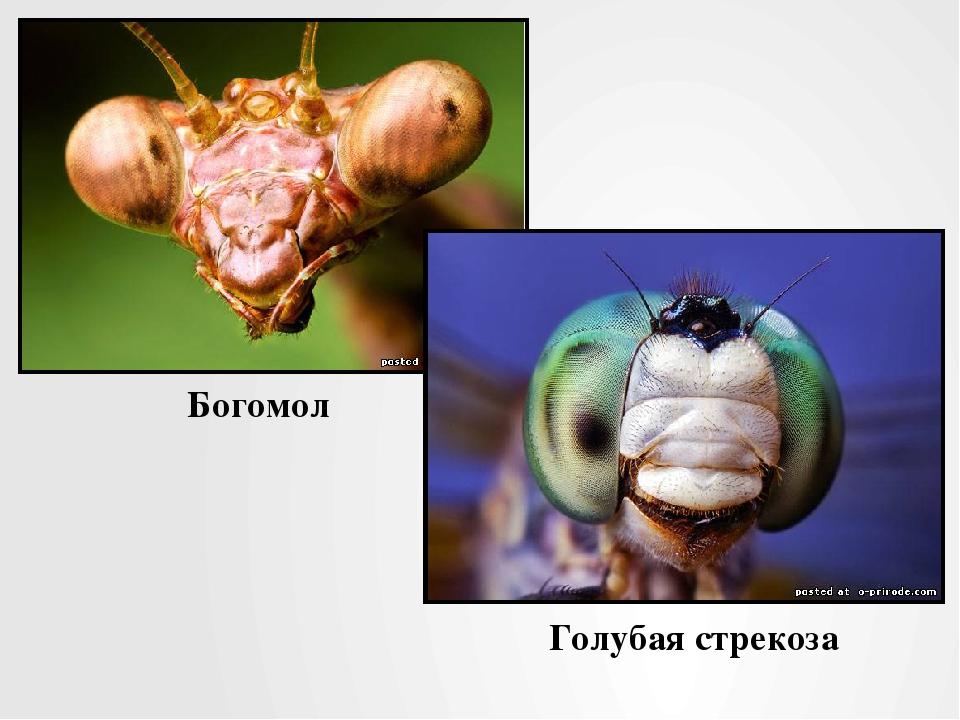Богомол Голубая стрекоза