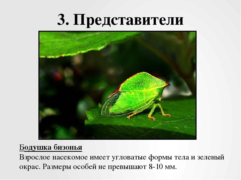 3. Представители Бодушка бизонья Взрослое насекомое имеет угловатые формы тел...