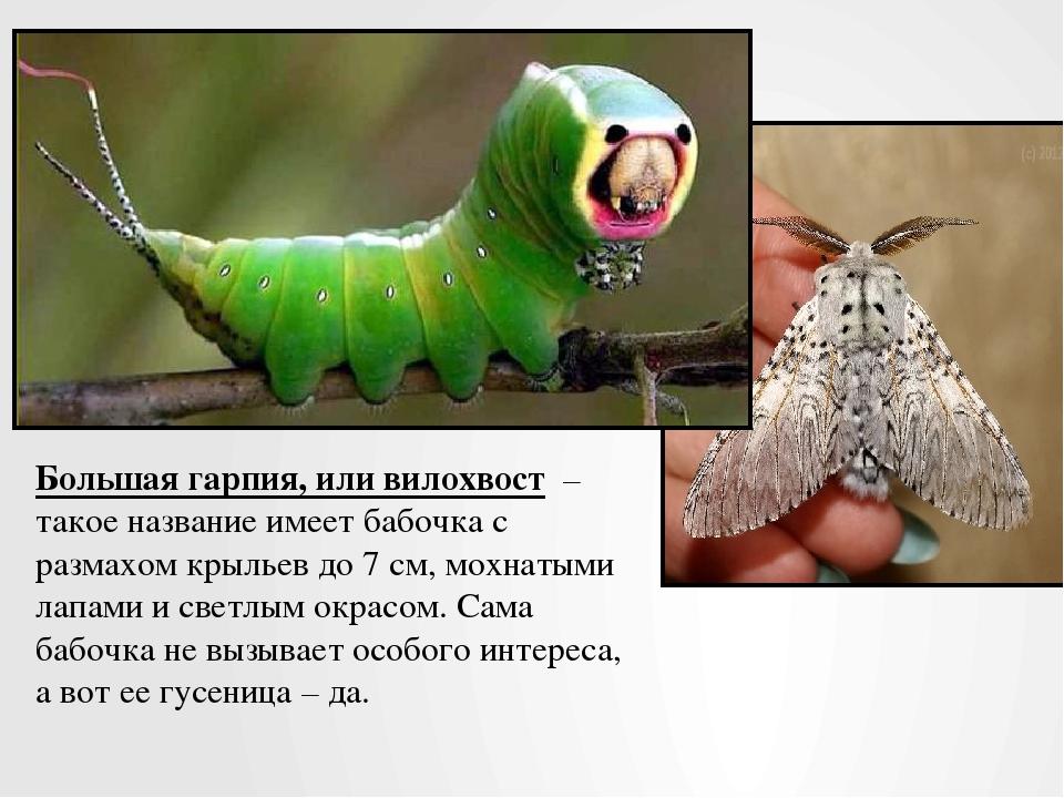 Большая гарпия, или вилохвост – такое название имеетбабочкас размахом крыл...