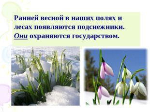 Ранней весной в наших полях и лесах появляются подснежники. Они охраняются го