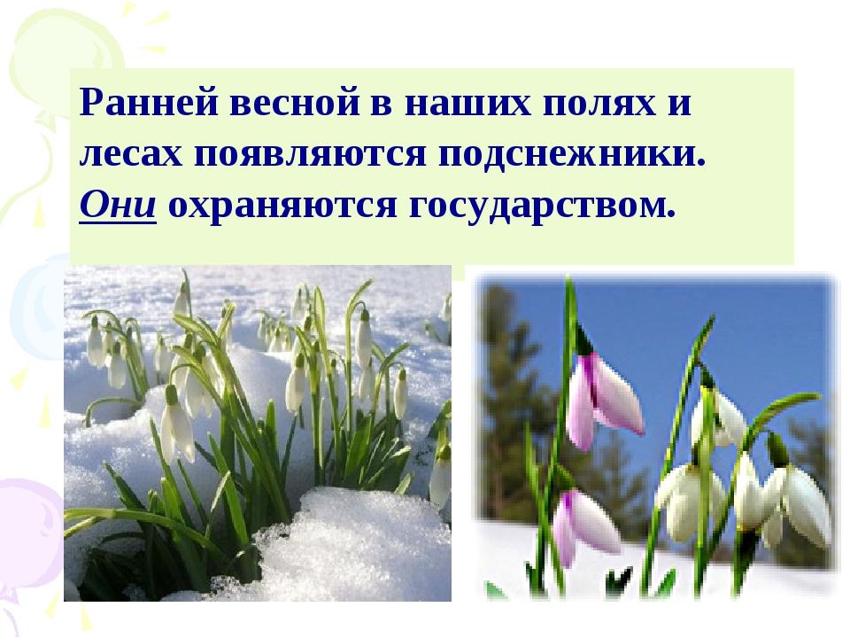 Ранней весной в наших полях и лесах появляются подснежники. Они охраняются го...