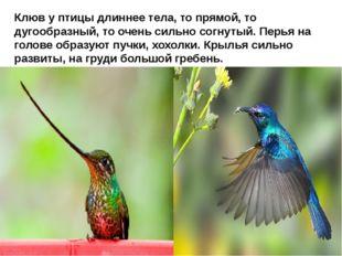 Клюв у птицы длиннее тела, то прямой, то дугообразный, то очень сильно согну