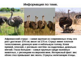 Информация по теме. Африканский страус – самая крупная из современных птиц: