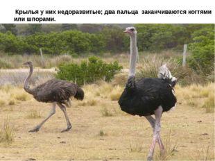 Крылья у них недоразвитые; два пальца заканчиваются когтями или шпорами.