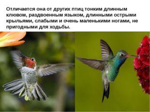 Отличается она от других птиц тонким длинным клювом, раздвоенным языком, дли