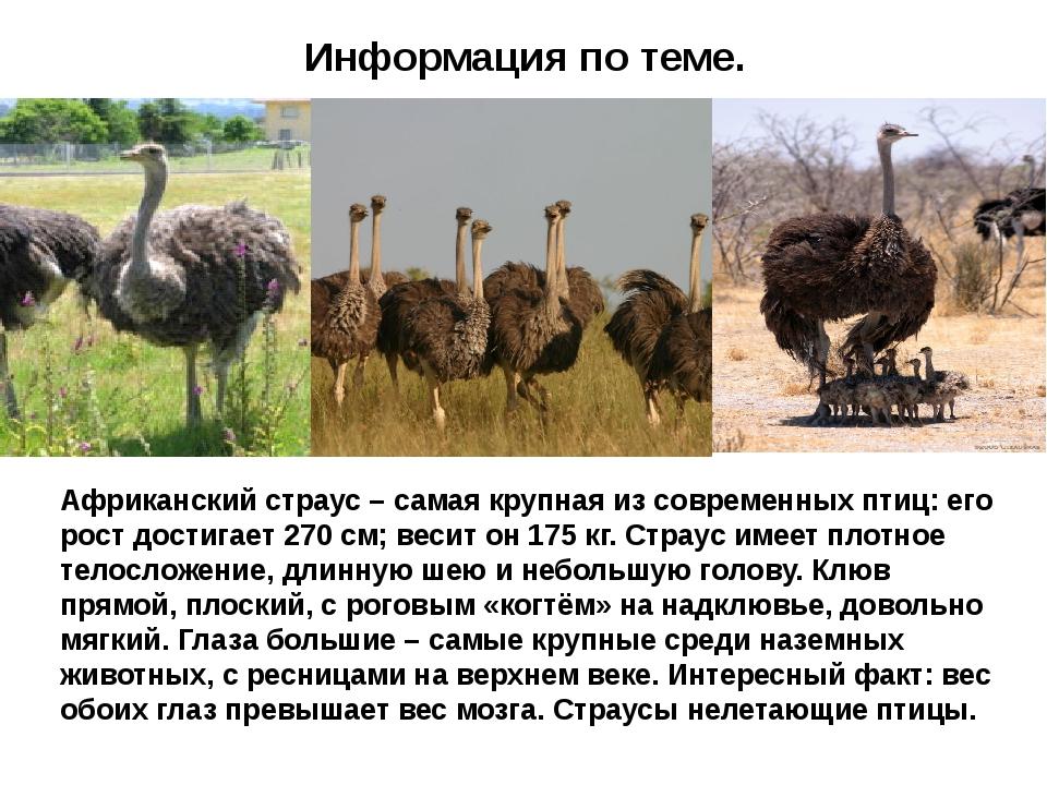Информация по теме. Африканский страус – самая крупная из современных птиц:...