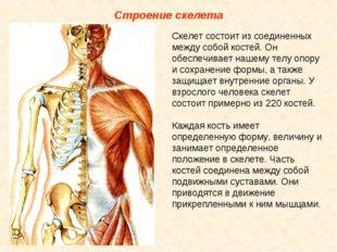 Строение скелета Скелет состоит из соединенных между собой костей. Он обеспеч