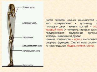 Кости скелета нижних конечностей – ног- прикреплены к туловищу с помощью двух