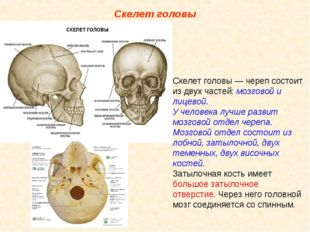 Скелет головы Скелет головы — череп состоит из двух частей: мозговой и лицево