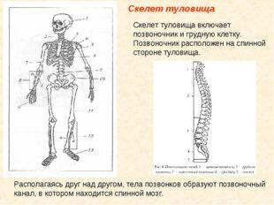 Скелет туловища Скелет туловища включает позвоночник и грудную клетку. Позво