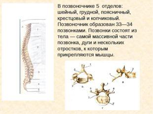 В позвоночнике 5 отделов: шейный, грудной, поясничный, крестцовый и копчиковы