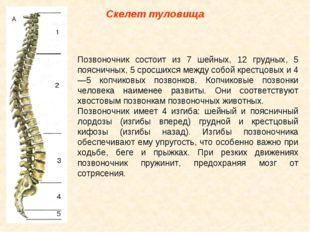 Скелет туловища Позвоночник состоит из 7 шейных, 12 грудных, 5 поясничных, 5
