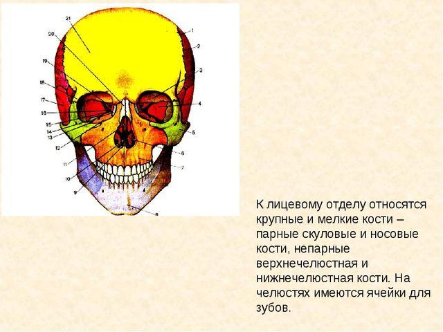 К лицевому отделу относятся крупные и мелкие кости – парные скуловые и носовы...