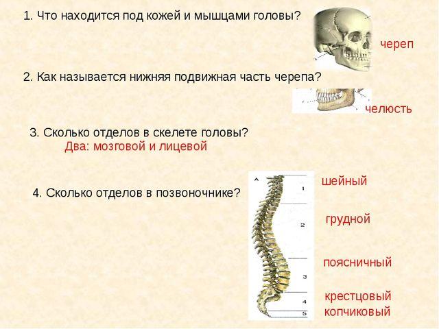 1. Что находится под кожей и мышцами головы? череп 2. Как называется нижняя п...