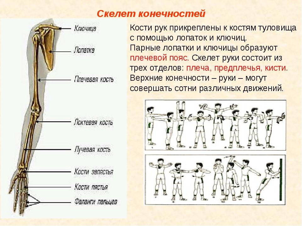 Скелет конечностей Кости рук прикреплены к костям туловища с помощью лопаток...