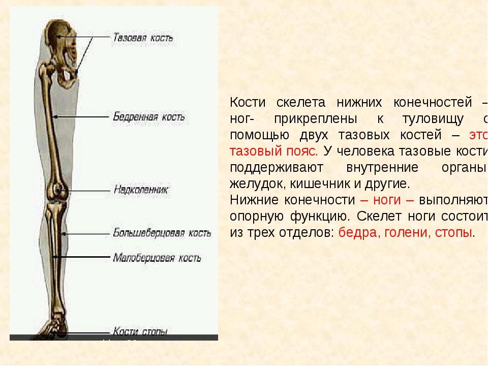 Кости скелета нижних конечностей – ног- прикреплены к туловищу с помощью двух...