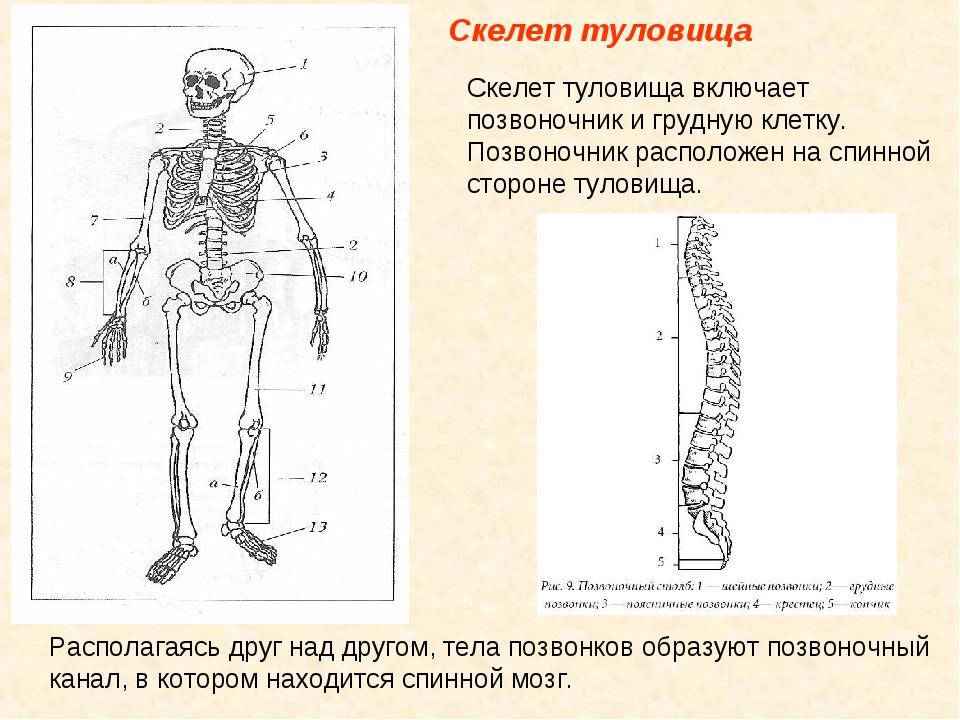 Скелет туловища Скелет туловища включает позвоночник и грудную клетку. Позво...