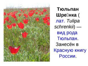 Тюльпан Шре́нка (лат.Tulipa schrenkii) — вид рода Тюльпан. Занесён в Красную