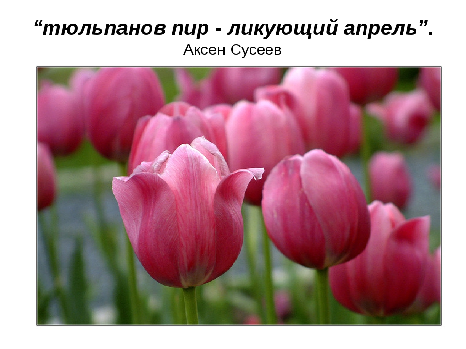 """тюльпанов пир - ликующий апрель"". Аксен Сусеев"