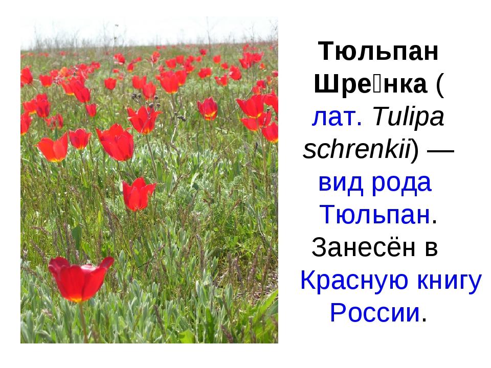 Тюльпан Шре́нка (лат.Tulipa schrenkii) — вид рода Тюльпан. Занесён в Красную...
