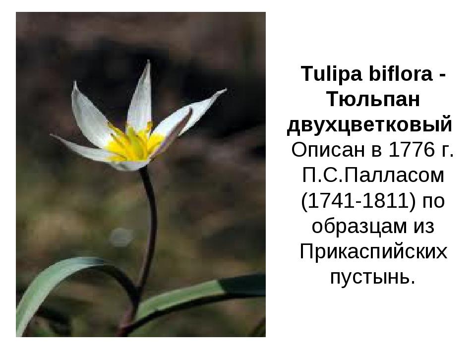 Tulipa biflora - Тюльпан двухцветковый Описан в 1776 г. П.С.Палласом (1741-18...