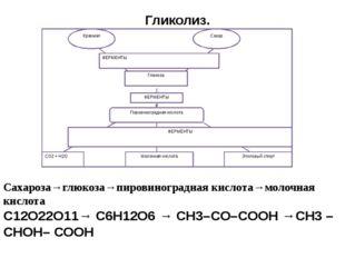 Гликолиз. Сахароза→глюкоза→пировиноградная кислота→молочная кислота С12О22О1