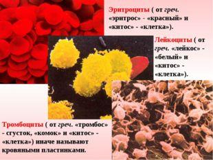 Эритроциты ( от греч. «эритрос» - «красный» и «китос» - «клетка»). Лейкоциты