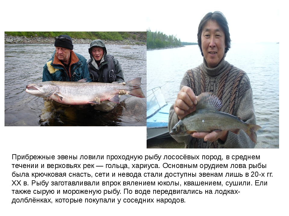 Прибрежные эвены ловили проходную рыбу лососёвых пород, в среднем течении и в...