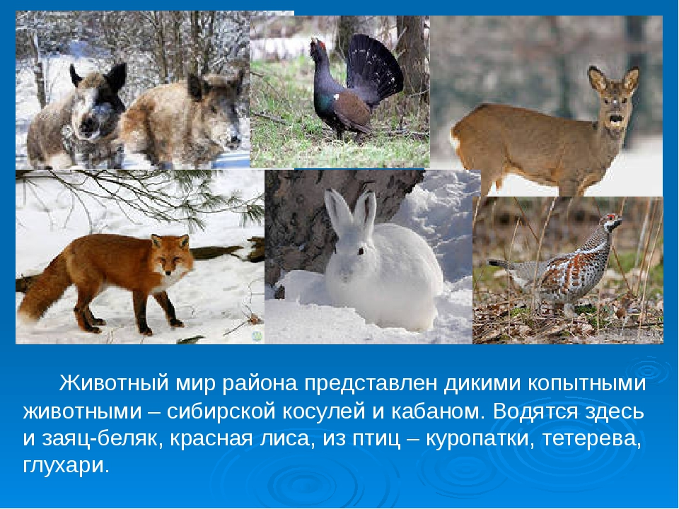 Животный мир района представлен дикими копытными животными – сибирской косул...