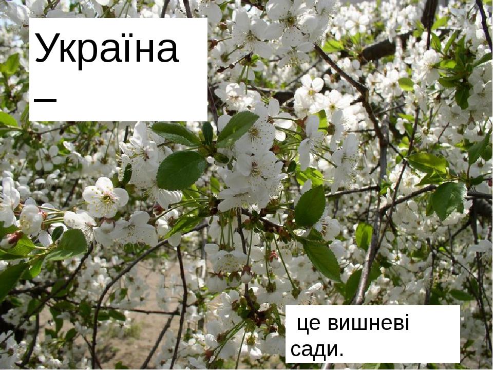 Це безкраї лани пшениці. Це квітучі поля льону. Україна – це вишневі сади.