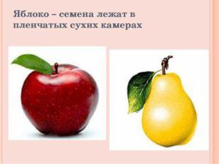Яблоко – семена лежат в пленчатых сухих камерах