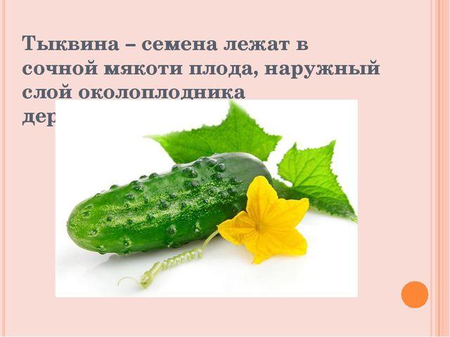 Тыквина – семена лежат в сочной мякоти плода, наружный слой околоплодника дер...