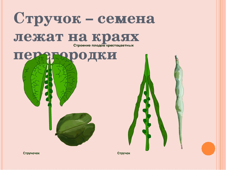 Стручок – семена лежат на краях перегородки