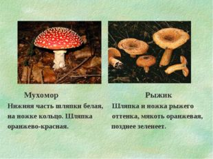 Мухомор Рыжик Нижняя часть шляпки белая, Шляпка и ножка рыжего на ножке коль