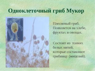 Одноклеточный гриб Мукор Плесневый гриб. Появляется на хлебе, фруктах и овоща