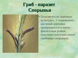 Гриб - паразит Спорынья Поселяется на зерновых культурах. У пораженных растен
