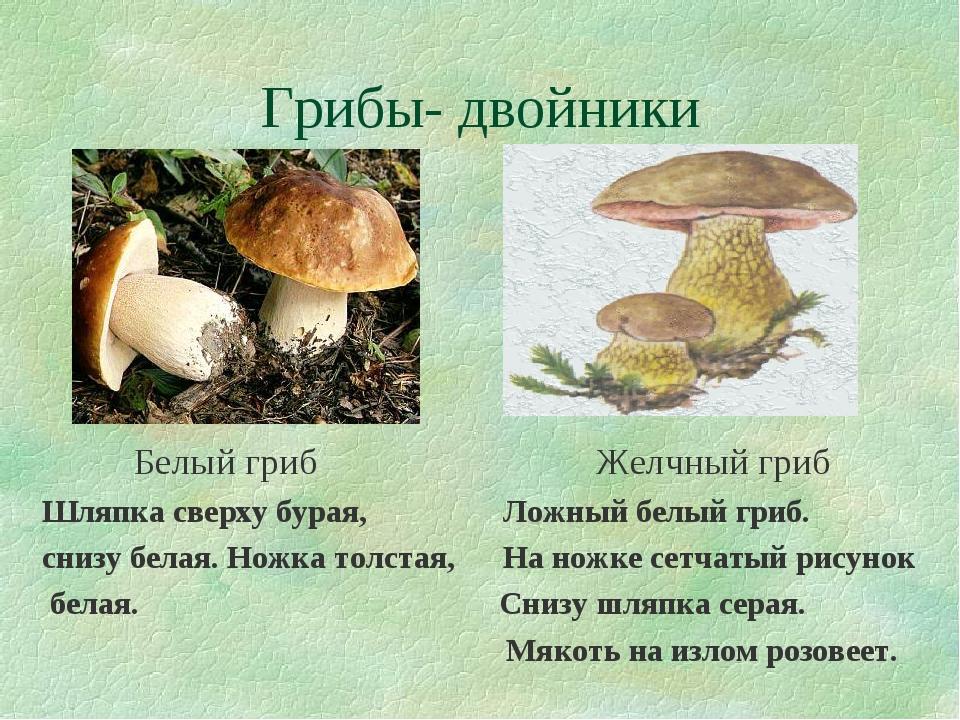 Грибы- двойники Белый гриб Желчный гриб Шляпка сверху бурая, Ложный белый гри...
