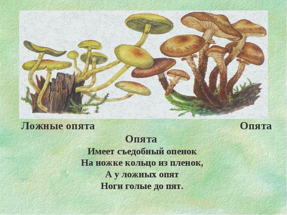 знаю опята фото и описание и ложные сайте украинского