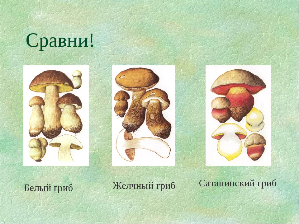 Сравни! Белый гриб Желчный гриб Сатанинский гриб