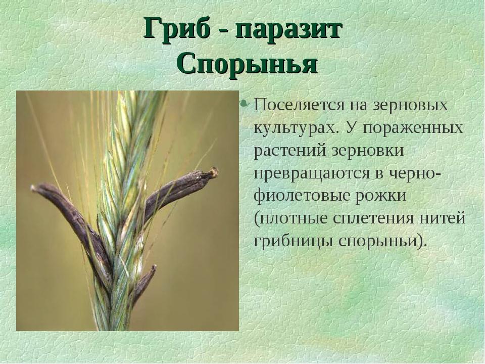 Гриб - паразит Спорынья Поселяется на зерновых культурах. У пораженных растен...