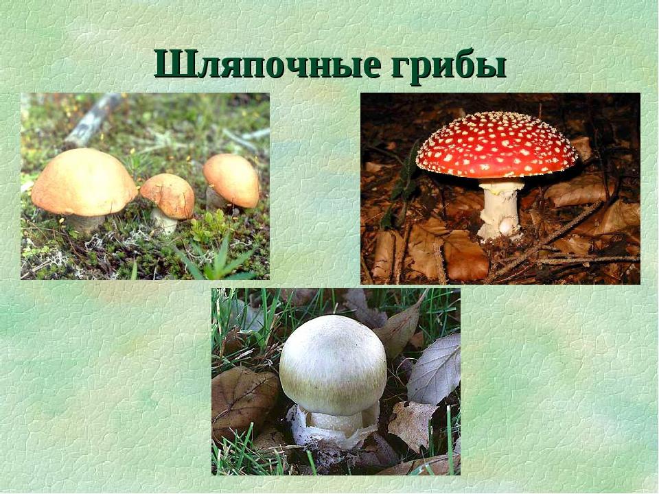 грибы шляпочные картинки тот момент