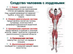 Сходство человека с хордовыми: 1. Хорда – осевой скелет, формирующийся как вы