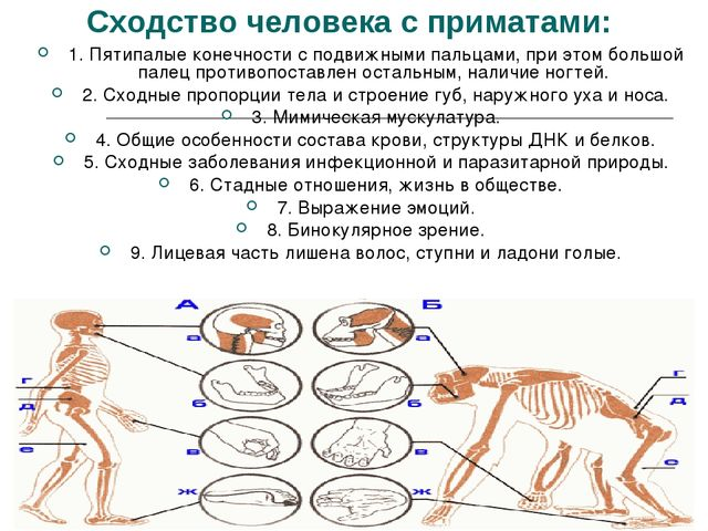 Сходство человека с приматами: 1. Пятипалые конечности с подвижными пальцами,...