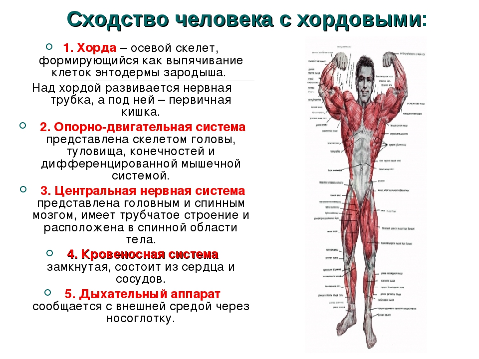 Сходство человека с хордовыми: 1. Хорда – осевой скелет, формирующийся как вы...