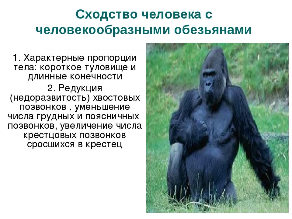 Сходство человека с человекообразными обезьянами 1. Характерные пропорции тел...