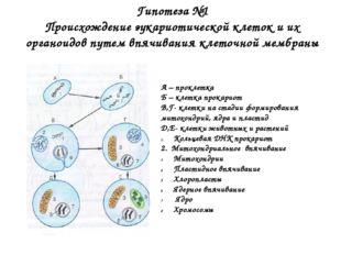 Гипотеза №1 Происхождение эукариотической клеток и их органоидов путем впячив